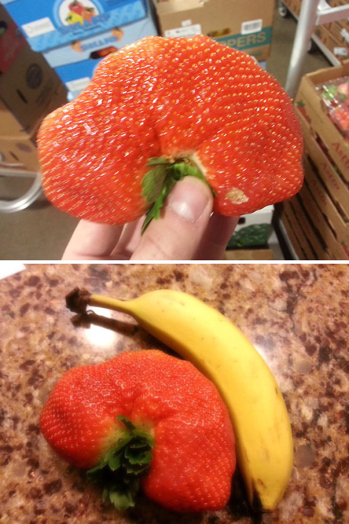 I Found This Strawberry At Work. I Have Named It Lord Berry King Of The Straws. Banana For Scale