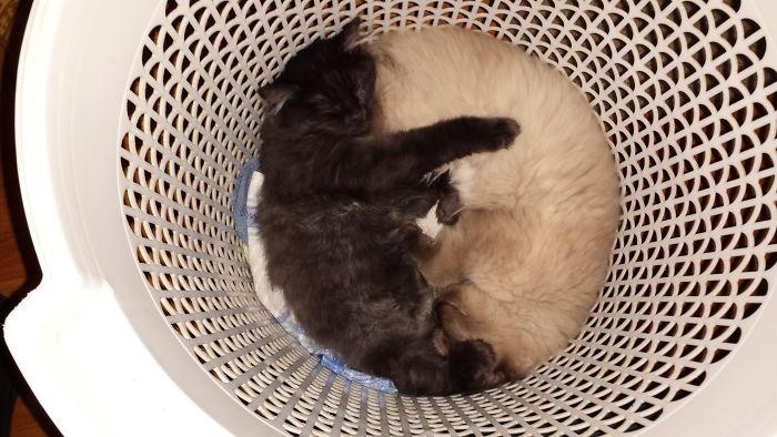 Yin Yang Kitten Sisters!