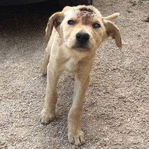 This Homeless Puppy Was Shot Dozens Of Times In Head, But She Kept Fighting For Her Life