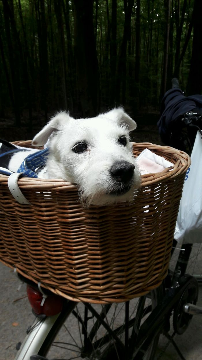 Adventurer, Nearly 14 Year Young Jack Russel / Parson Terrier (probabley Looking For His Frisee), Seligenstadt / Germany