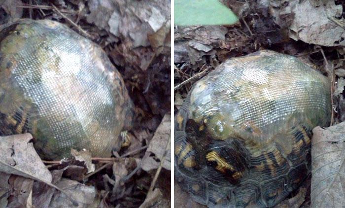 Esta veterinaria usó fibra de vidrio para reparar el caparazón roto de una tortuga, y la soltó en un bosque. Años después…