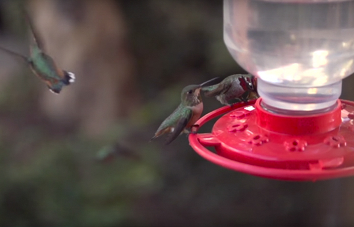 Mujer desarrolla vínculo con más de 200 colibríes, ahora se quejan si llega tarde para alimentarlos