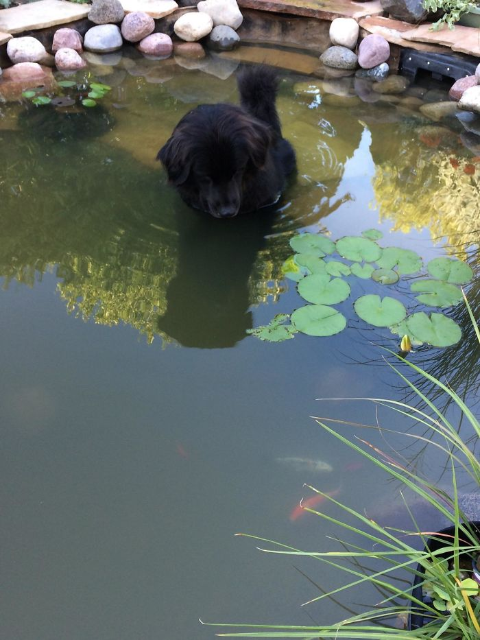 My Dog Zeus Likes To Sit In Our Pond And Stare At The Fish