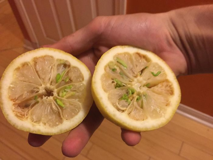 I Picked Some Lemons Off My Tree And The Seeds Had Begun Sprouting Inside The Lemons