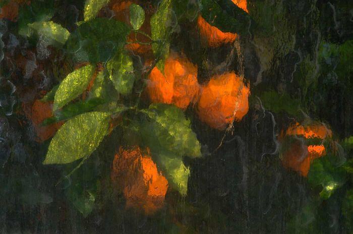 Naranjas fotografiadas a través de los paneles de cristal del invernadero