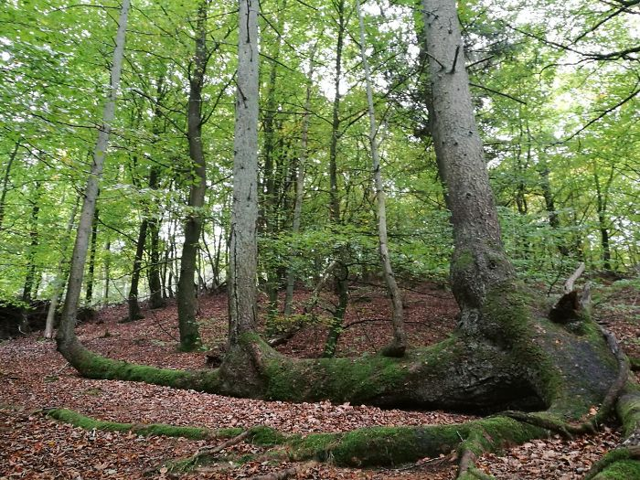 Fallen Tree Refuses To Die And Spouts Three New Trees