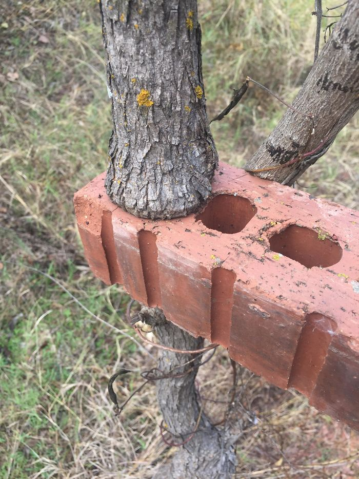 This Tree Grew Inside This Brick's Hole