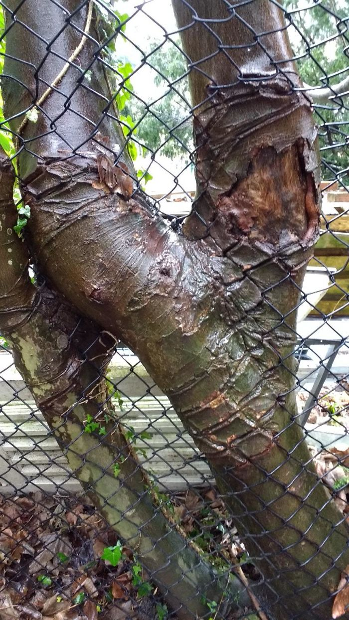 Scars On A Tree After Growing Through This Fence