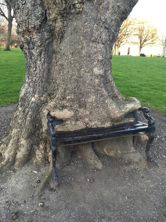 The Way This Tree Ate This Bench
