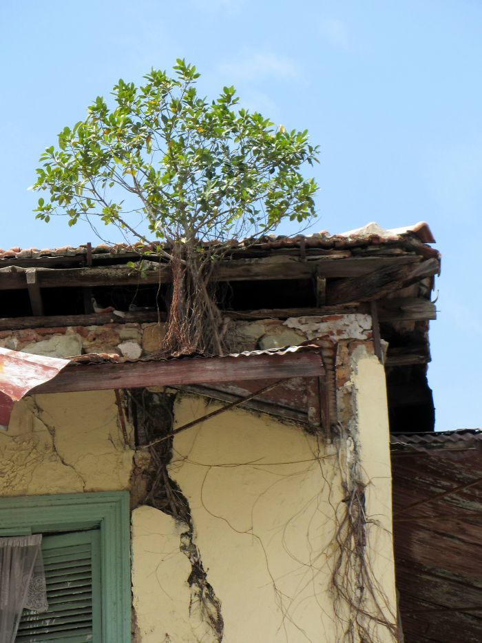 Tree Growing On A Roof In Panama City