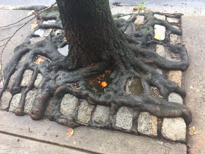 This Tree's Roots Grew Up Through The Gaps In The Paving Stones
