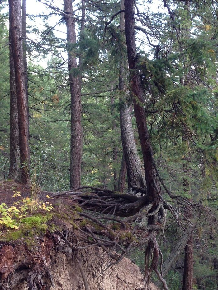 This Tree Is Barely Holding On After The Cliff Eroded Away