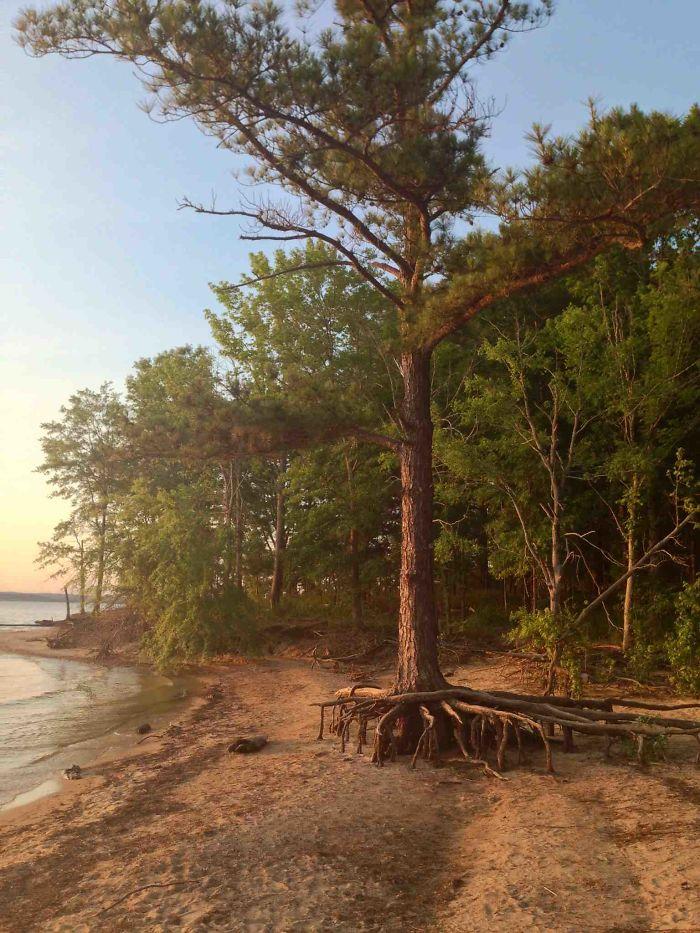 This Pine Tree