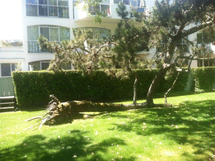 This Tree Fell Over But Some Of Its Roots Were Left Intact, So The Branches Have Kept Growing, Acting Like Trunks