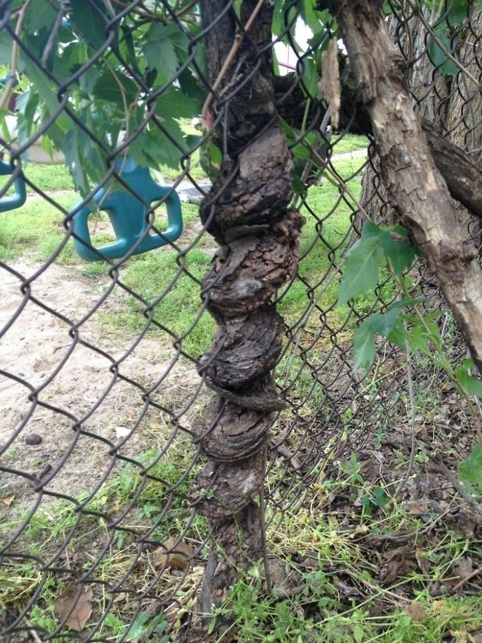 This Tree Branch Spiraled Through The Chain Link Fence