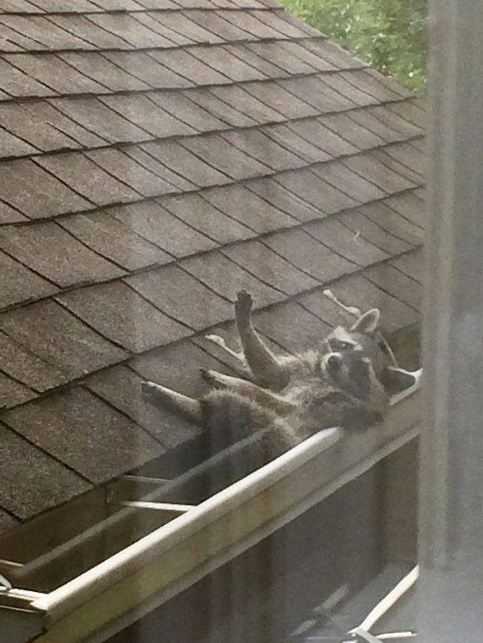 Foto de un mapache en el canalón del vecino