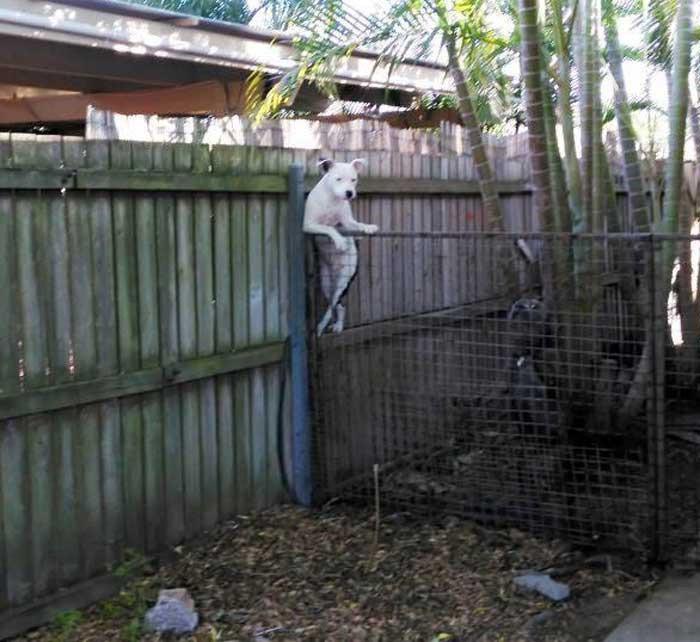 El perro del vecino casualmente apoyado en la valla