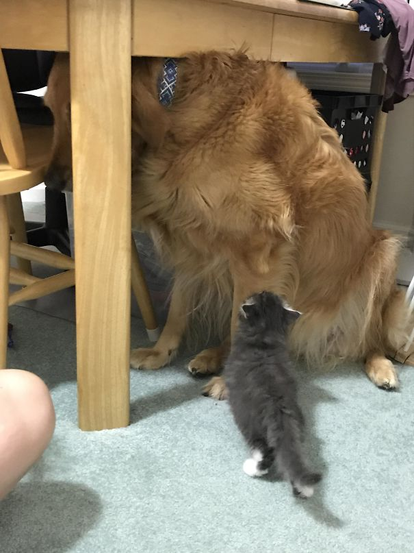 My 85 Lb Dog Is Scared Of My Sister's 1.5 Lb Foster Kitten
