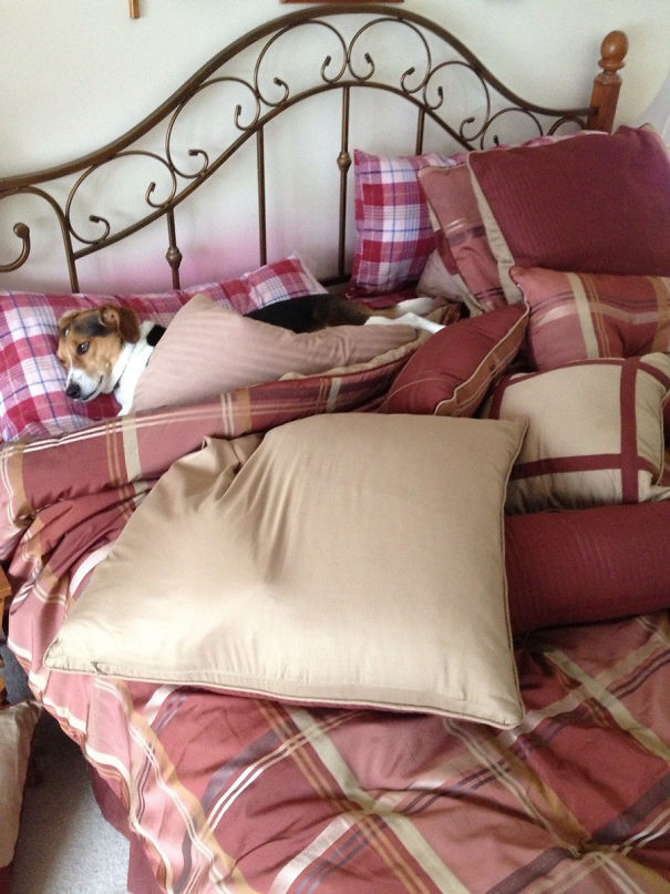 """Rule Breaking Dog - Parents Go On Vacation With One Rule. """"Don't Sleep On Dad's Pillow."""" Two Hours Later..."""