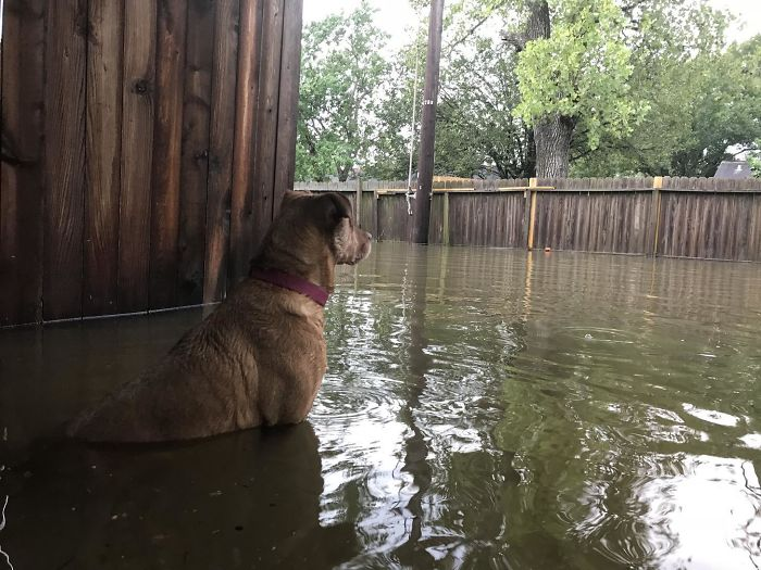 Doggo Keeps An Eye Out On The Flood. Been Stuck At Home Surrounded By Water For 2 Days Now In Friendswood Texas