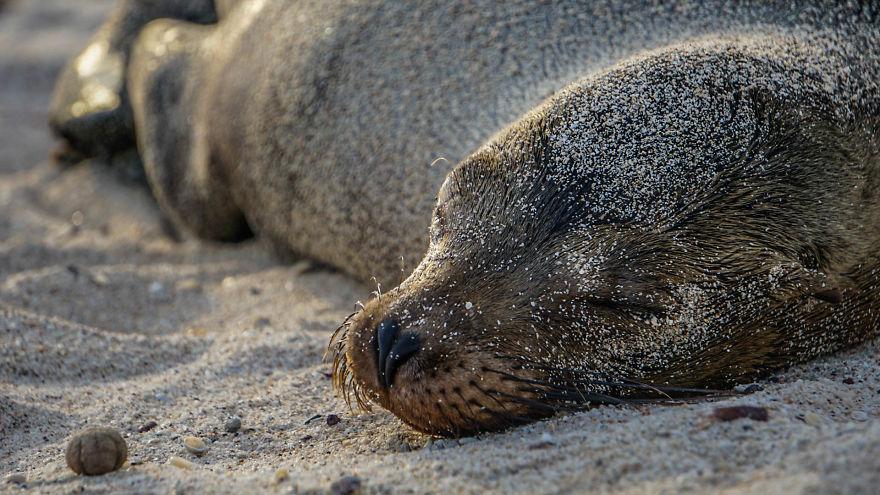 Sleepy Sea Lion
