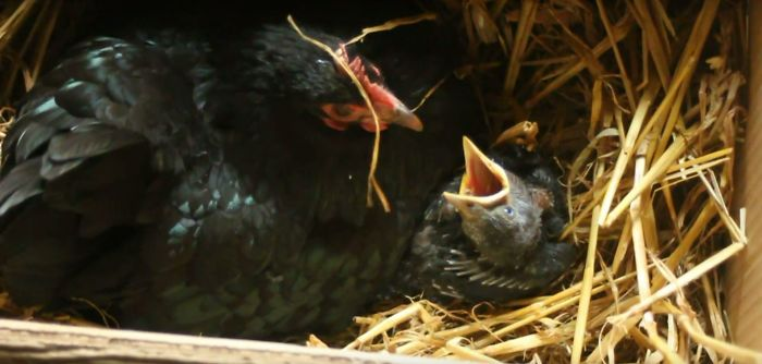 Baby Jackdaw Adopted By Broody Hen & Fed By Us