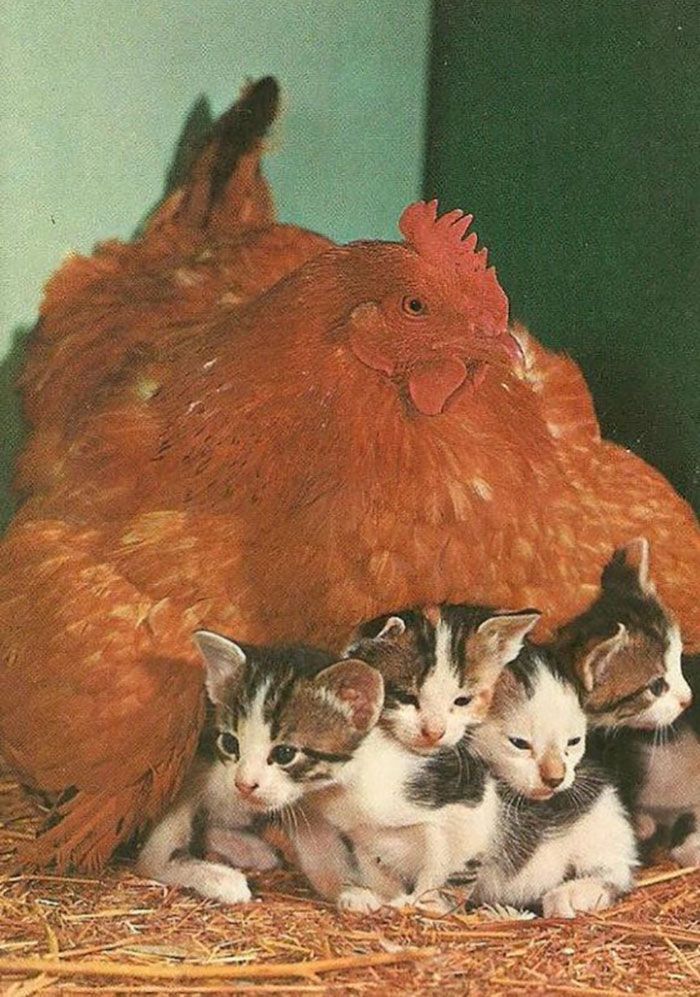Hen Adopts 4 Kittens