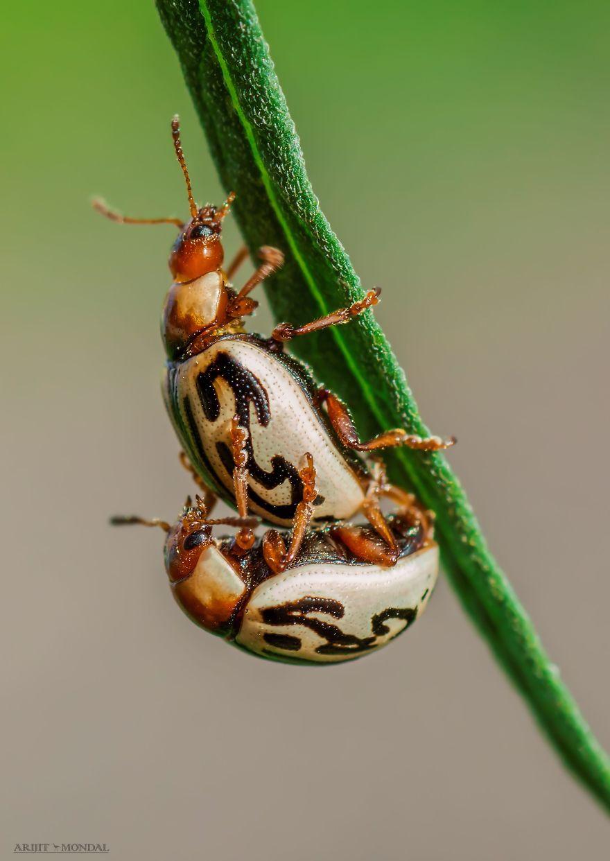 Parthenium Beetle