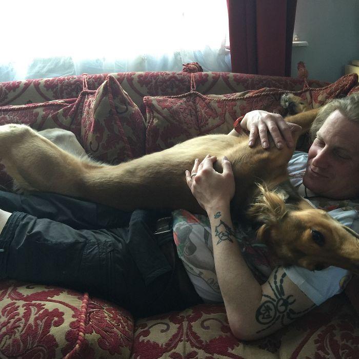 Daddy's Boy! Loki Our Saluki/greyhound X 27 Kilos Of Cuddles!