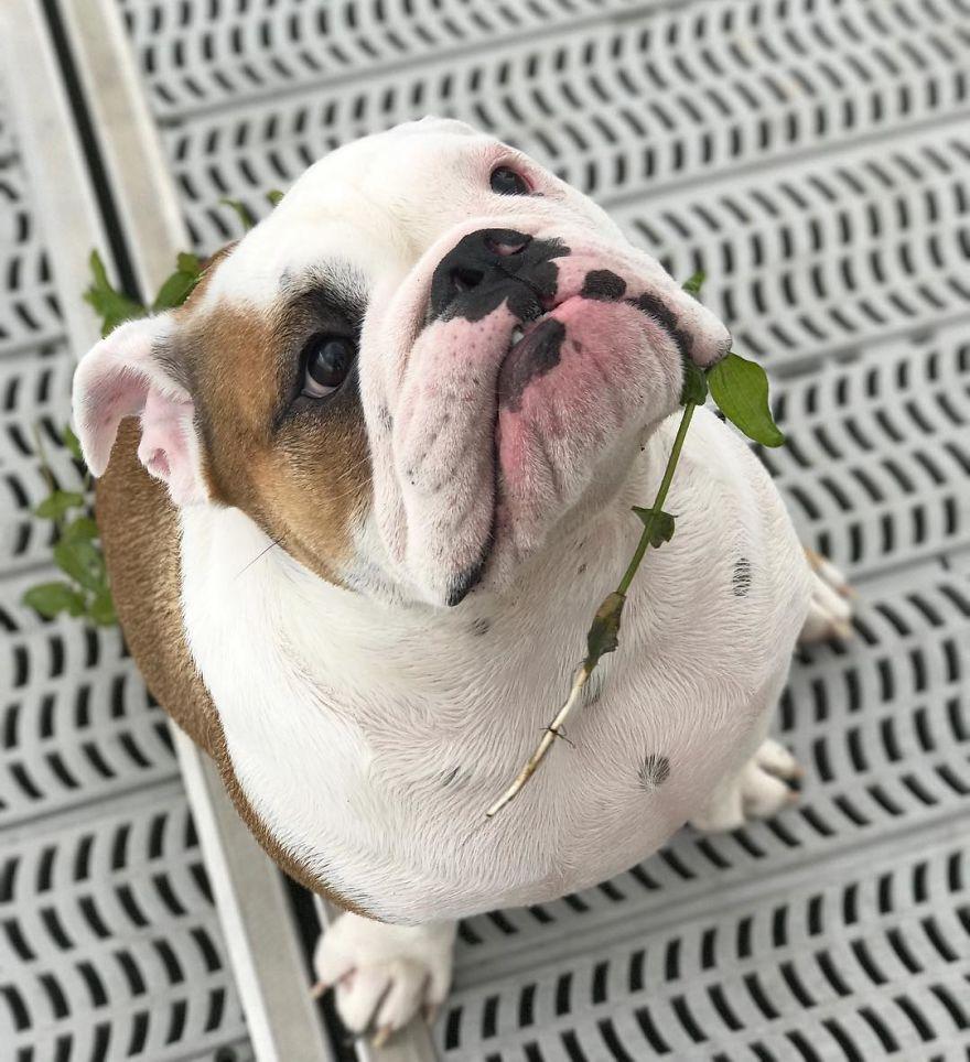 Meet Walter An English Bulldog Who Likes To Sit Like A