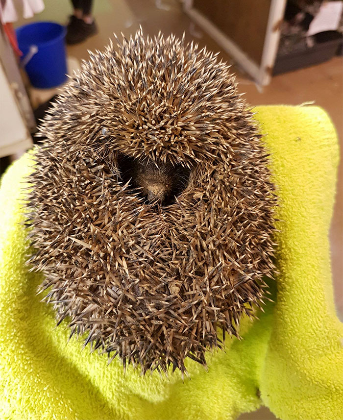 angry hedgehog trapped in ball of clay doesn�t allow