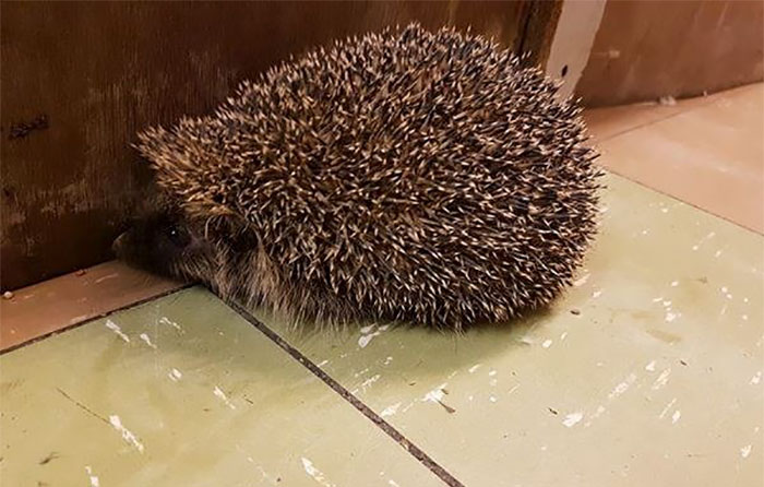 angry-hedhehog-clay-ball-5