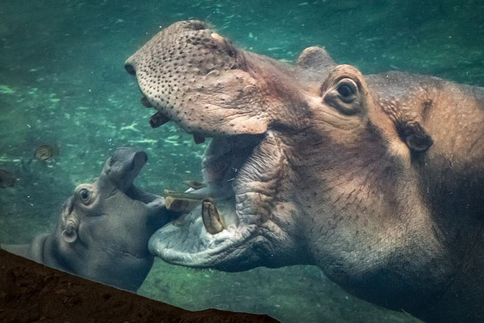 Fiona The Hippo Playing In The Water Will Make Your Day In Just 81 Seconds