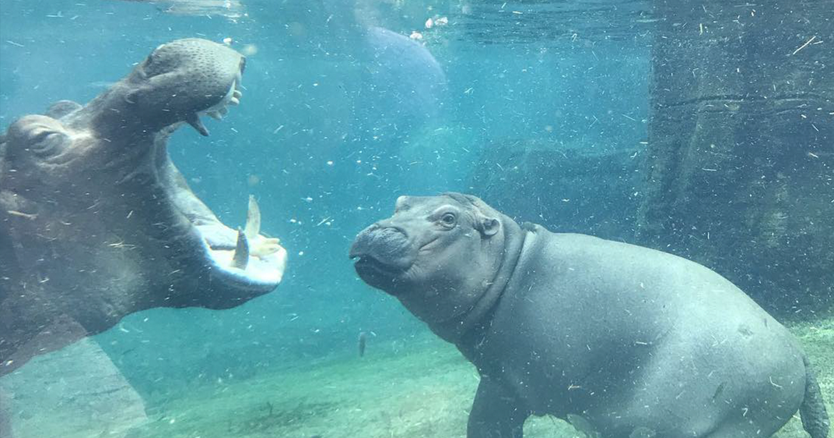 Fiona The Hippo Playing In The Water Will Make Your Day In