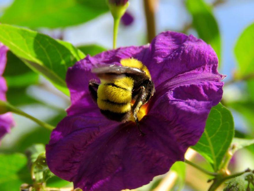 Giant Bumblebee In The Blue Potato Bush.
