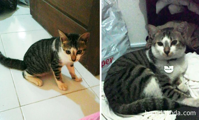 When I Adopt Him At 3 Months And Now 1 Year Old. Mucipu Always Meow For Snacks Even The Bowl Aren't Empty Yet