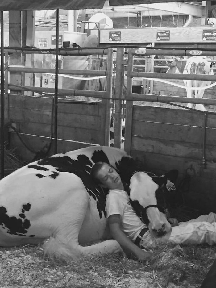 Tired Boy And His Cow Lose Out At Dairy Fair, Fall Asleep And Win The Internet