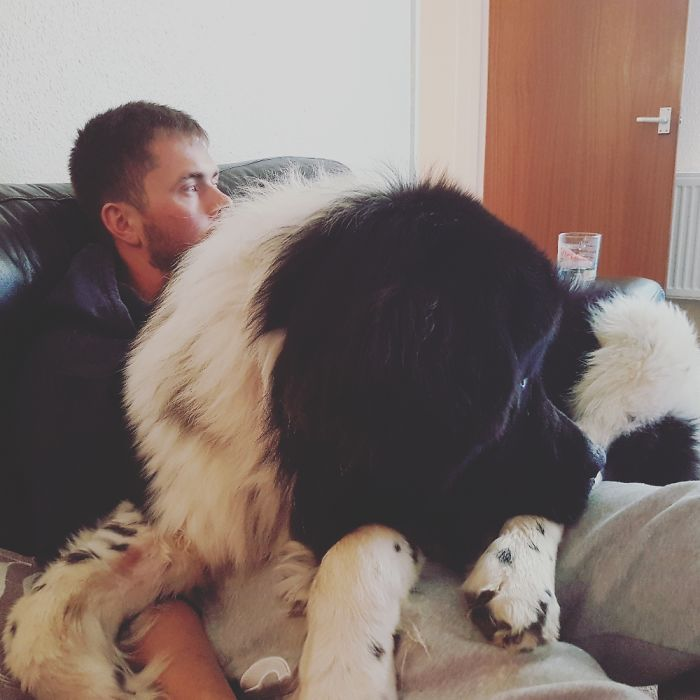 Paddy Our 18 Month Newfoundland Just Wants To Be Cuddled!