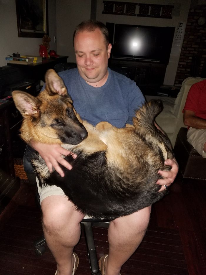 7 Month Old 70lb German Shepherd Who Thinks He's A Lap Puppy