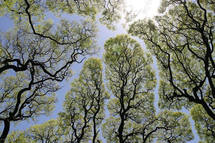 Crown Shyness Trees