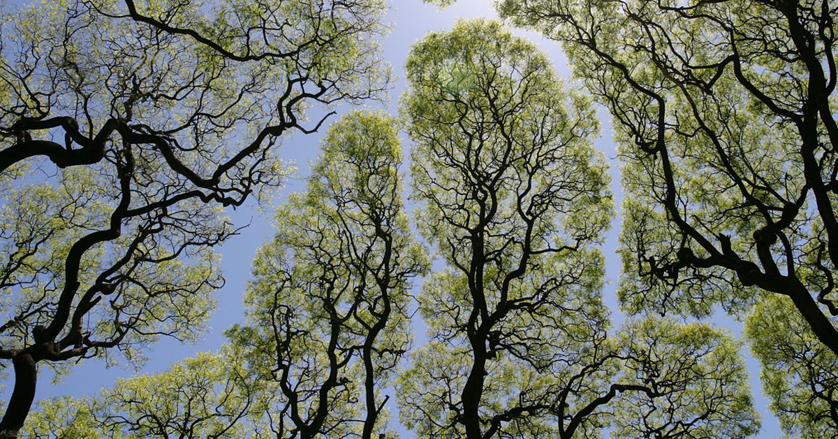 27 amazing examples of crown shyness a phenomenon where trees
