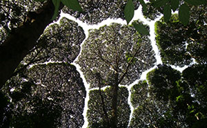 "10+ Amazing Examples Of ""Crown Shyness"", A Phenomenon Where Trees Avoid Touching"