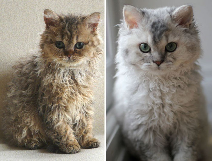 These Curly Cats Who All Descended From One Shelter Kitty