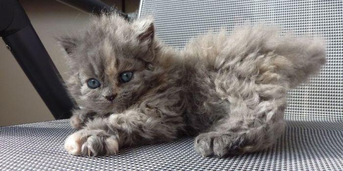 cat gingivitis home remedy