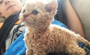 Estos gatos de pelaje rizado descienden todos de un gato rescatado, y están conquistando internet