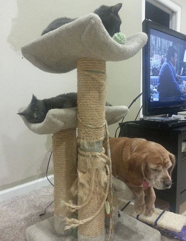 My Dog And My BF's Cats Sharing The Cat Tower