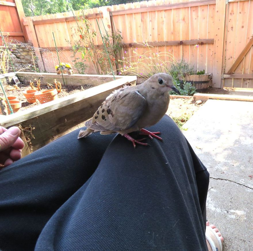 Sweet Mourning Dove That Got Injured. Took To The Local Wildlife Refuge.