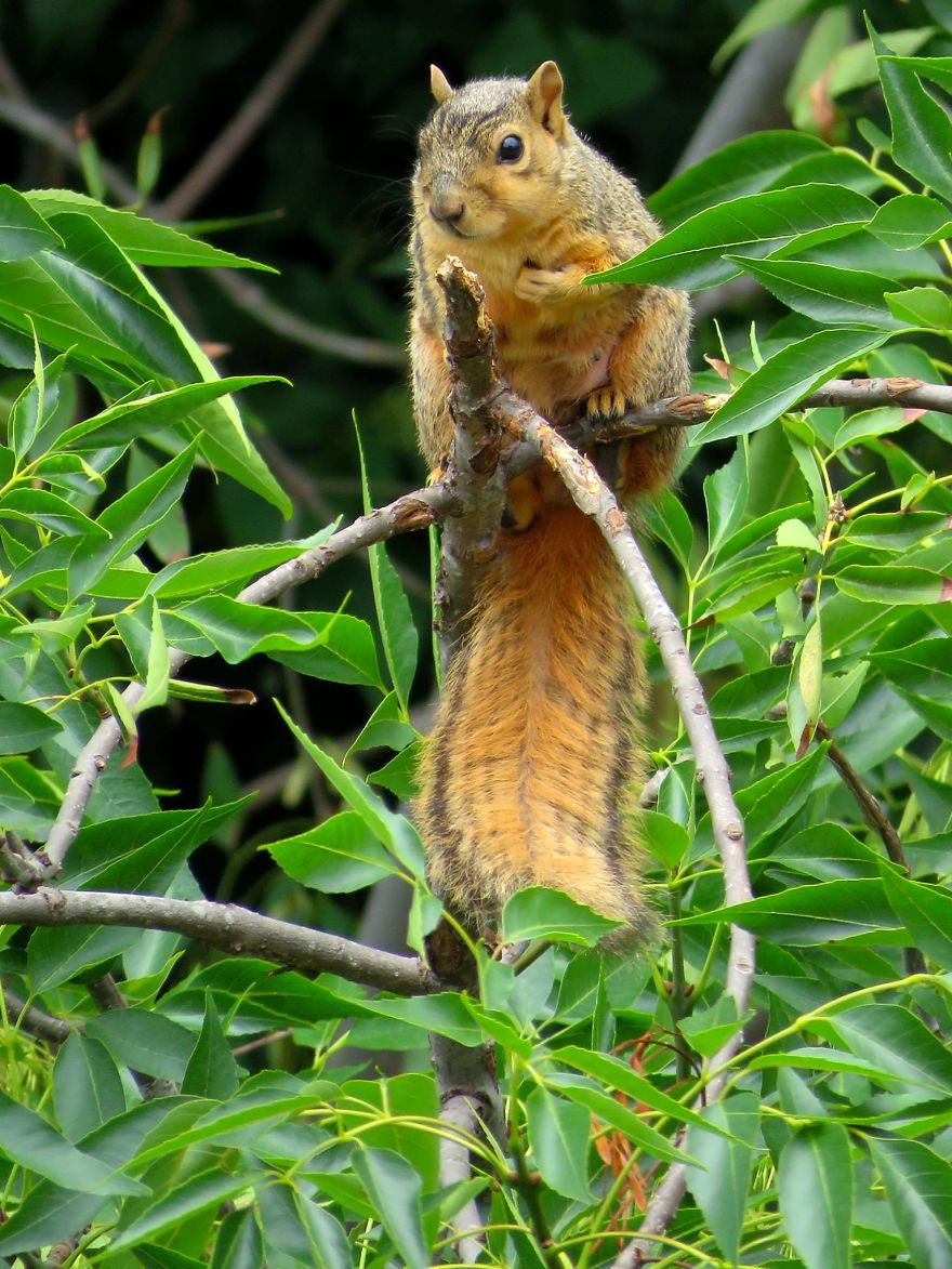 Magnificent Tail. Tree Squirrel.