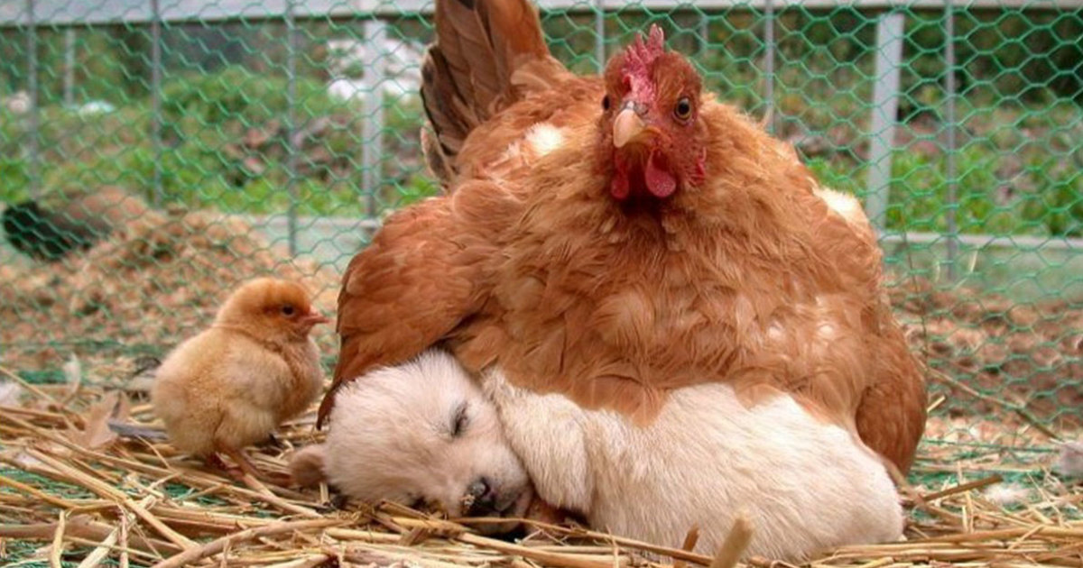 10+ Photos Proving That Hens Are The Best Moms In The Animal Kingdom