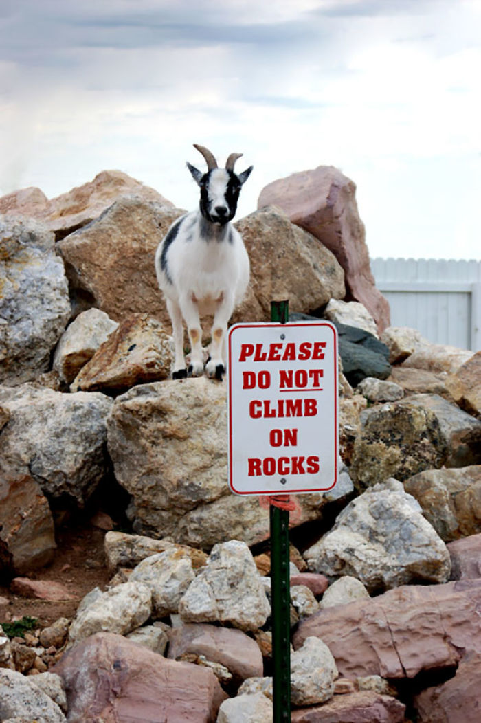 Goats Are Jerks